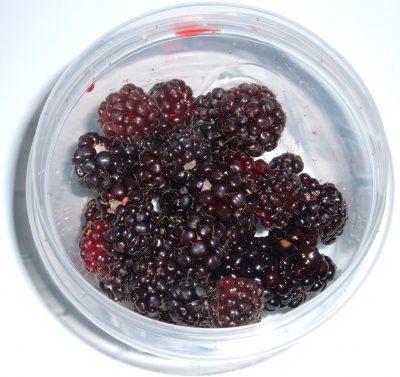 foraged blackberries