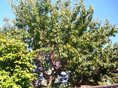 apricot tree but no apricots