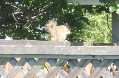 apricot eating squirrel