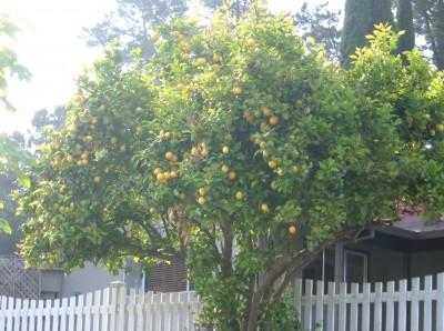 day 36 lemon tree