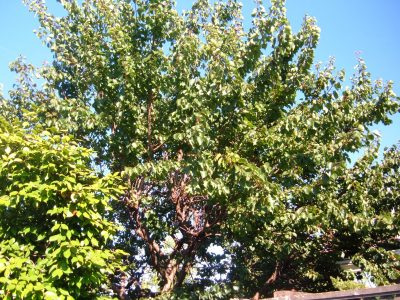 apricot tree but no apricots
