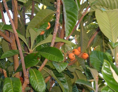 loquats out of reach